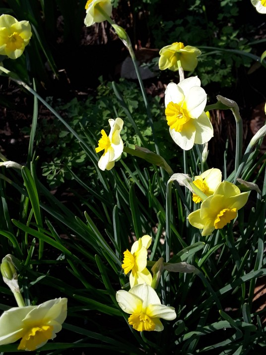 Sun Disc form small clumps with numerous blooms per bulb