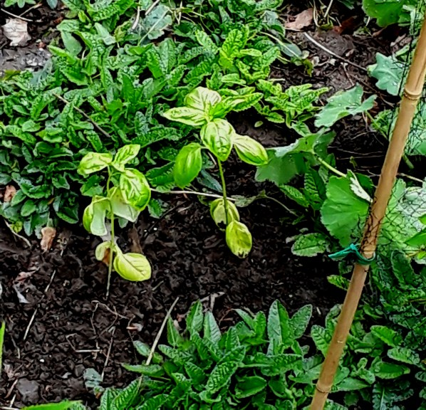 Two basil seedlings planted in a flower border