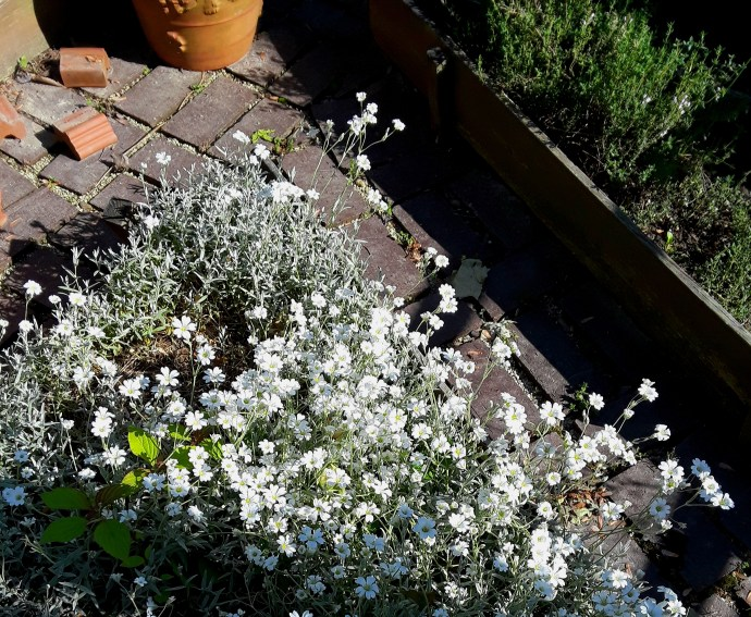snow-in-summer sends out billowing small, white blooms above fuzzy gray foliage