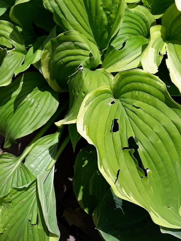 A variegated hosta leaf is light green rimmed with ivory. Holes from hail perforate the foliage.
