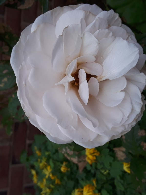 'Heritage' rose blooms a peachy pink and slowly fades to pale pink.