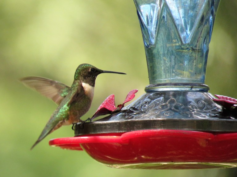 A ruby-throated hummingbird feeds at a traditional red hummingbird feeder