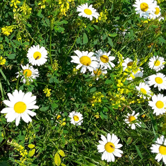 wild daisies have white petals and bright yellow centers