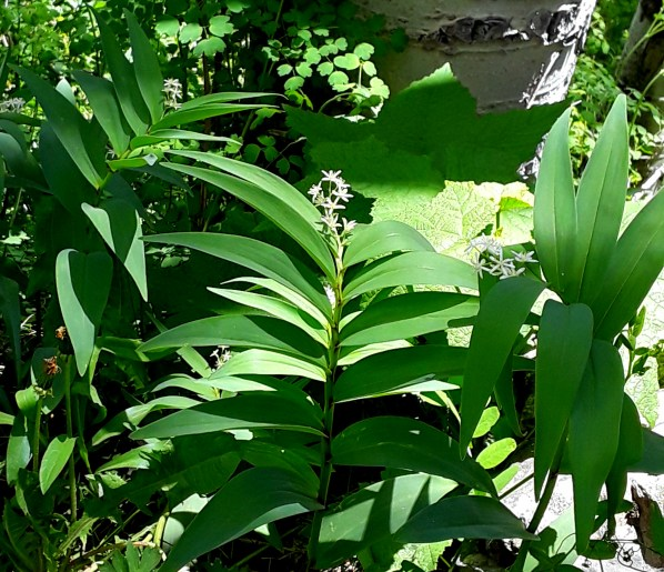 False Solomon seal's leaves are oppositely arranged on the stem, and topped with small, starry white flowers