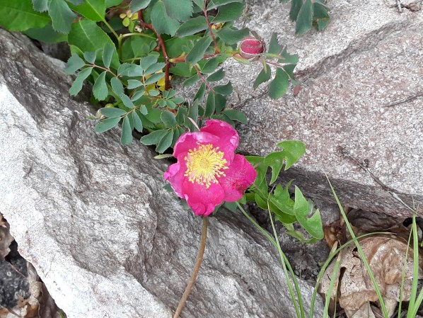 a pink rose pops out between boulders on the mountainside