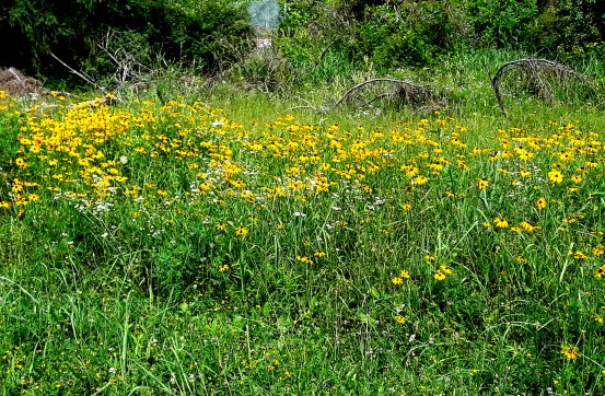 a stand of Black-Eyed Susan makes a bright yellow splash