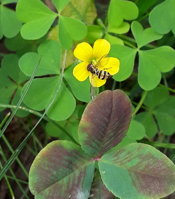 Close-up of bee on tiny yellow sorrel flower