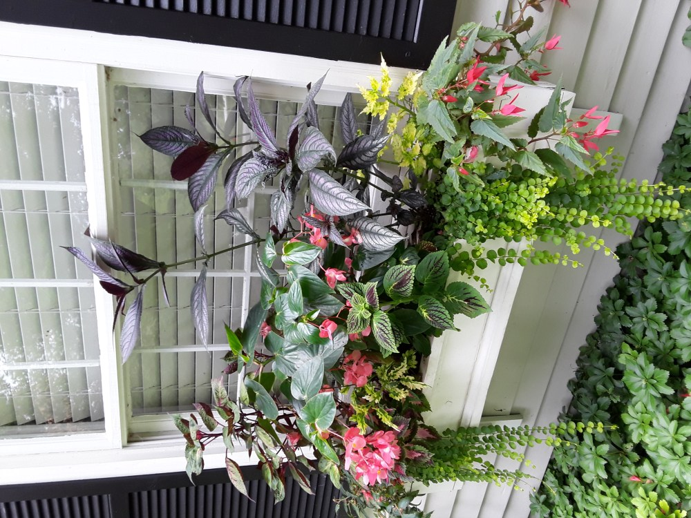 angel wings begonia, coleus for shade