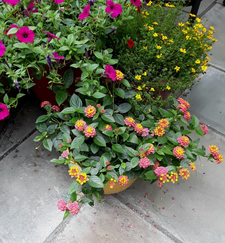 lantana, threadleaf coreopsis and petunias flourish in pots