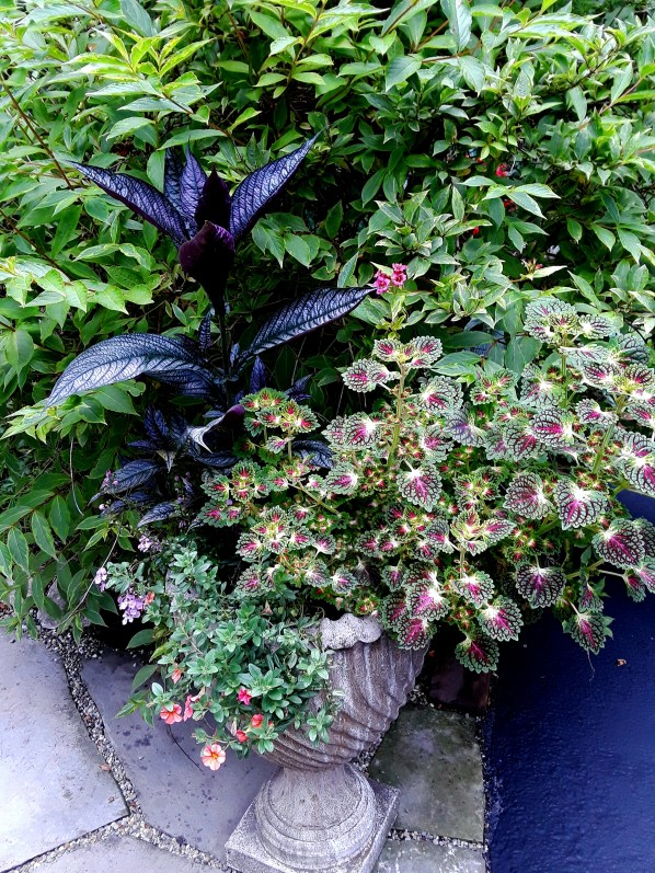coleus in cement urn