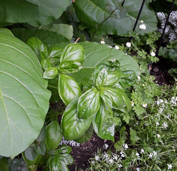 Green leaves of basil in a garden bed.
