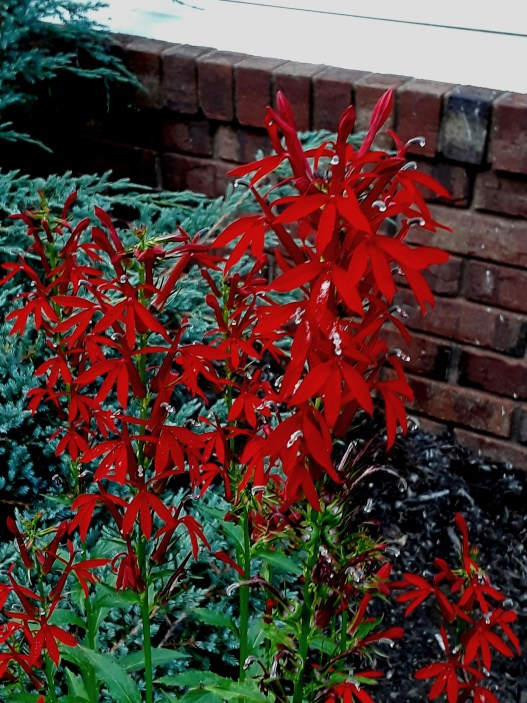 Cardinal flower has blooms of a shocking red
