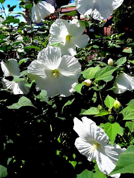 Giant white hibiscus flowers shine sunlight