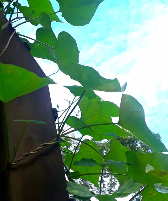 The morning glory vine has lots of leaves but no blossoms