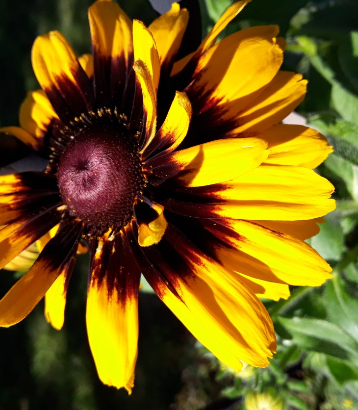 A large daisy flower in bright yellow gold with center markings of deep brown and purple.