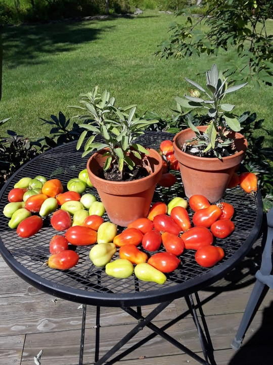 about three dozen tomatoes cover an outdoor tabletop