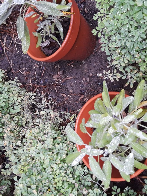 two small sage plants in pots, ready for planting