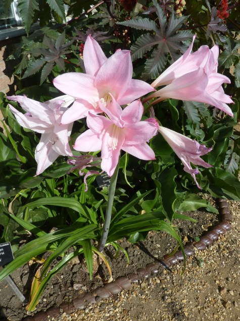 Amarcrinum blooms in the fall. Its flowers are large and pink, resembling lilies