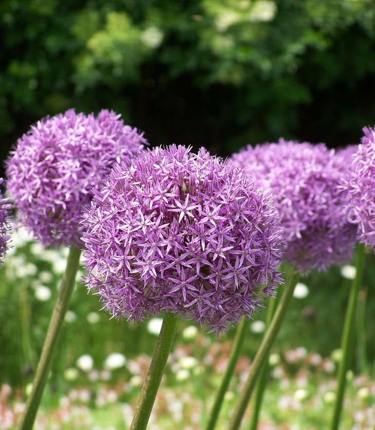 Allium have large purple pompom flowers