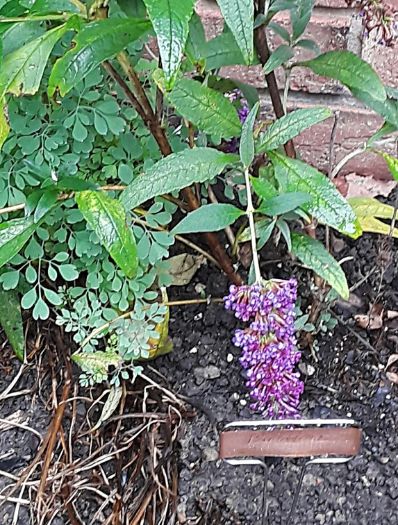 Purple Buddleia marked with a copper plant label.