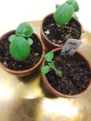 three pots of seedlings growing