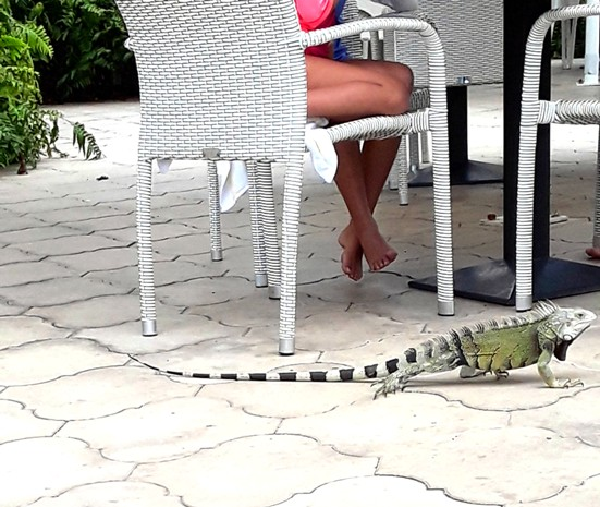 A large iguana crawls around a poolside table, witing for a snack to fall.