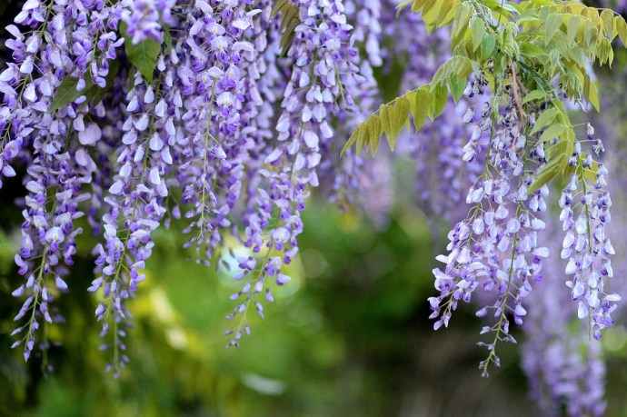 wisteria form draping purple pinnacles