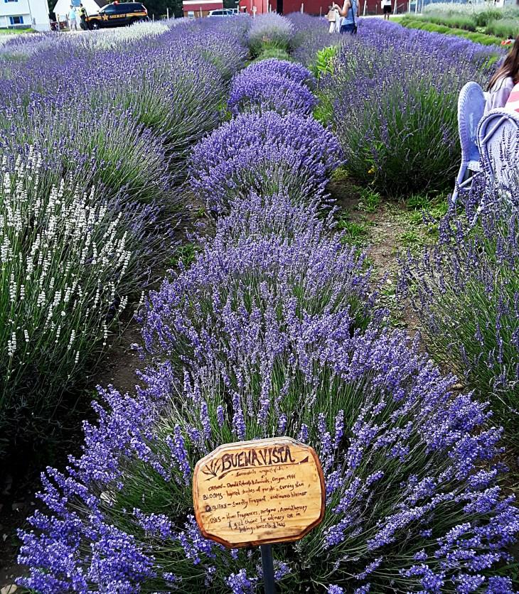 lavender rows on the farm are brilliant purple