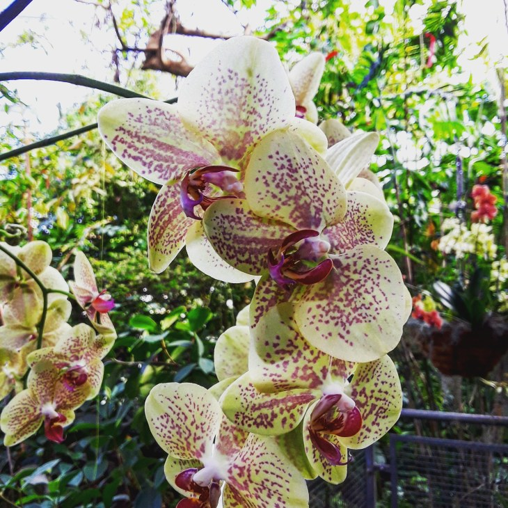 a cream and pink-speckled orchid at the Cleveland Botanical Garden orchid show