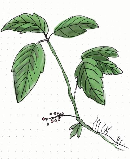 Poison ivy rash is a common plant allergy. Look for plants with sets of 3 leaves.