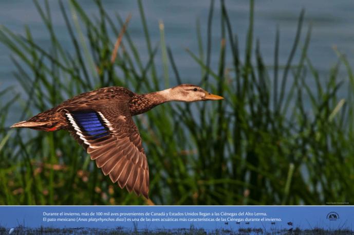 Durante el invierno, más de 100 mil aves provenientes de Canadá y Estados Unidos llegan a las Ciénegas del Alto Lerma. El pato mexicano (Anas platyrhynchos diazi) es una de las aves acuáticas más características de las Ciénegas durante el invierno