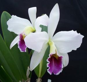 Cattleyas Orchid