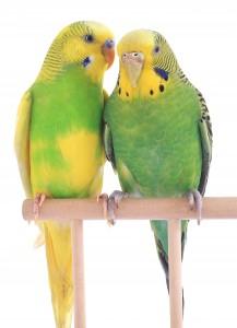 Parakeets can only Speak Human Language
