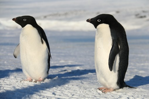 Adélie Penguins, on the sea ice road to Cape Evans, Antarctica. © A. Padilla
