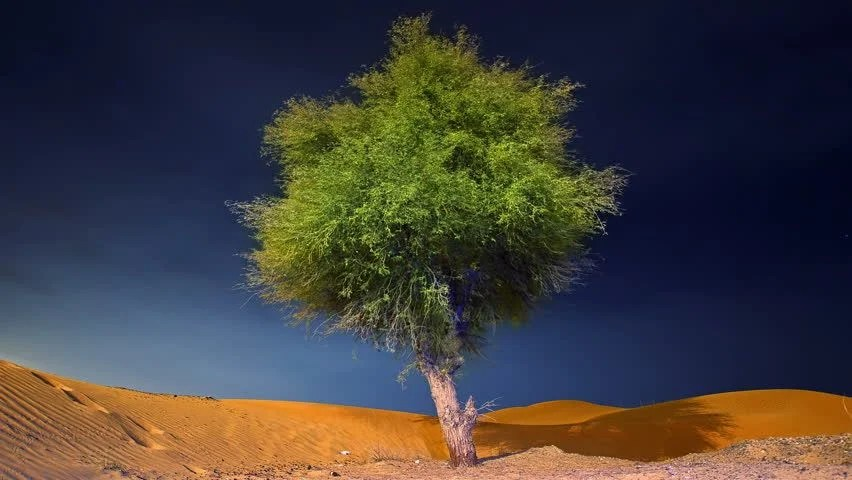 Ghaf Tree Alone In A Stock Footage Video 100 Royalty