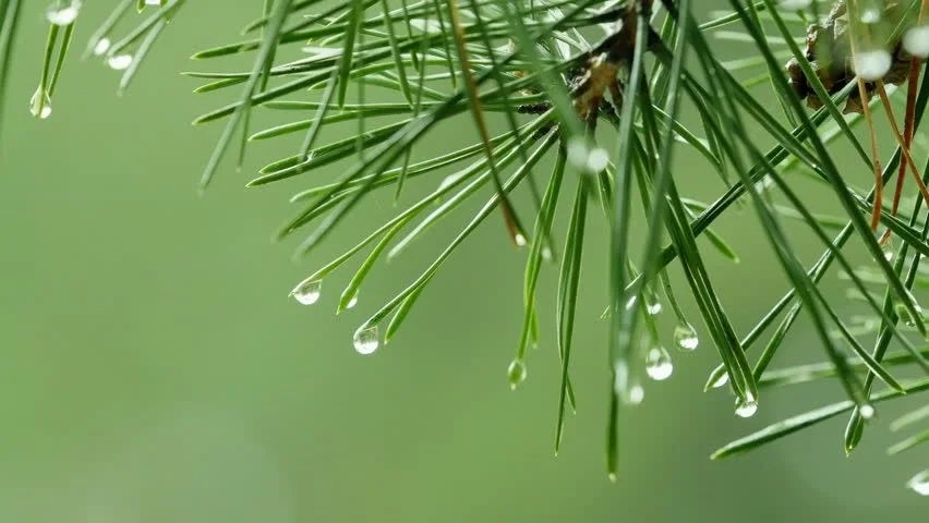 Image result for rain dripping from pine trees