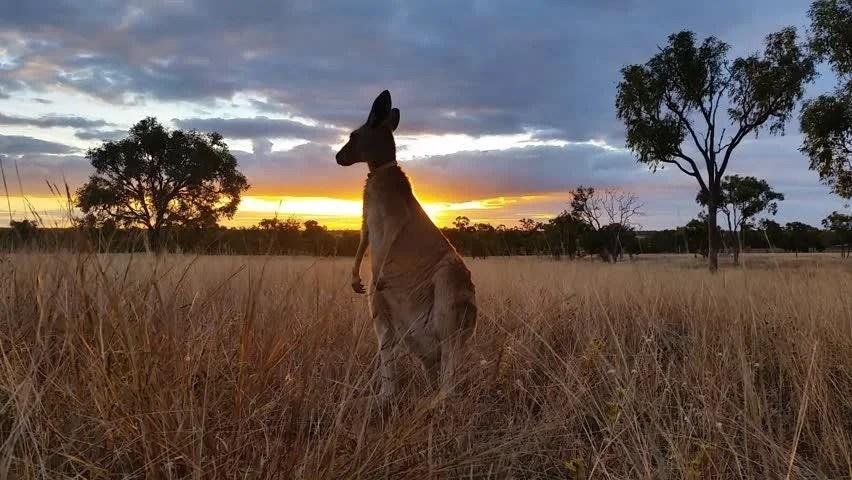 Kangaroo Eating Sunset Australia Landscape Stock Footage