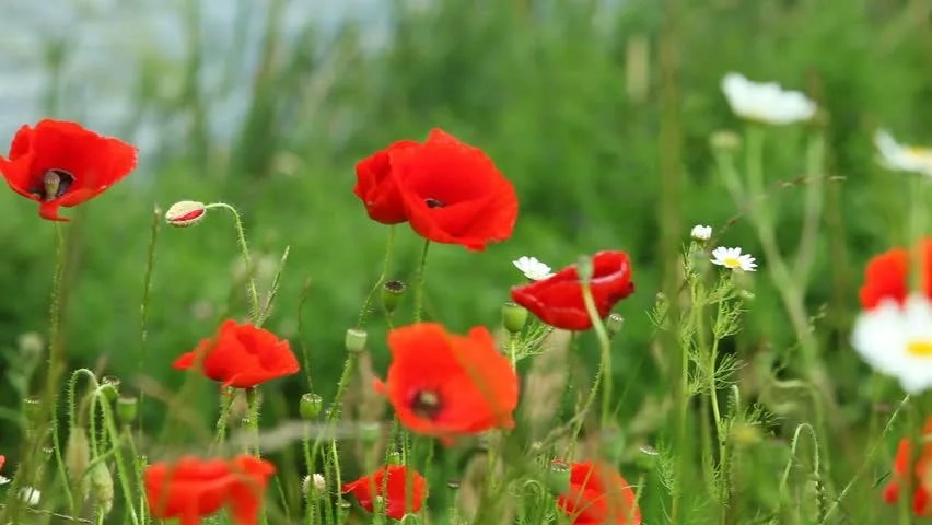 Stock video of red poppy flowers poppies on green   10311647     Stock video of red poppy flowers poppies on green   10311647   Shutterstock