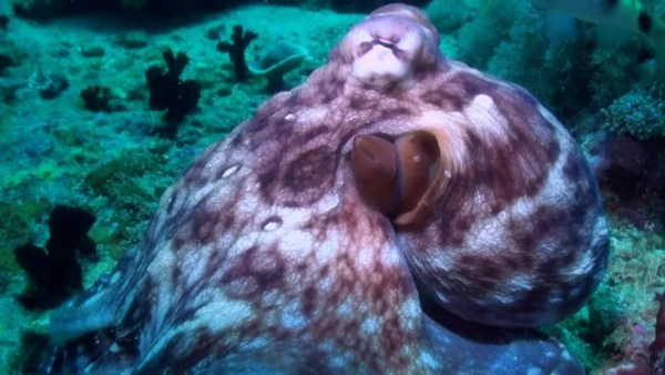 Common reef octopus Footage | Stock Clips