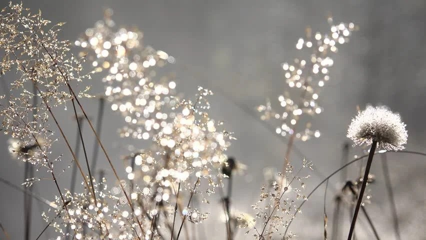 Image result for Dandelion in winter