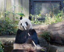 上野動物園パンダ画像