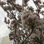 【お花見情報】お花見できる場所は探せばありますよ!