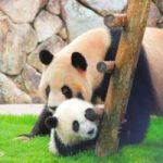 【祝!】パンダの赤ちゃんがついに誕生!これからも大変ですが、あたたかい目で見守っていきましょう( ・∀・)ノ
