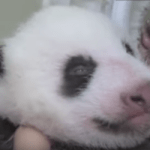 【パンダ情報】パンダの赤ちゃんの両目がうっすら開き、自力で動き出しました!