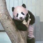 【パンダ情報】シャンシャン生後170日で長靴にまとわりつく!そしてパンダの尻尾の色は!?