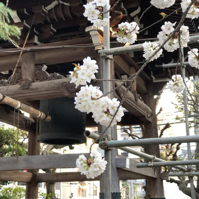 東上野の『坂東報恩寺』は桜満開!