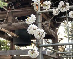 坂東報恩寺の桜