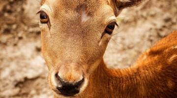 roe-deer-173132_1280