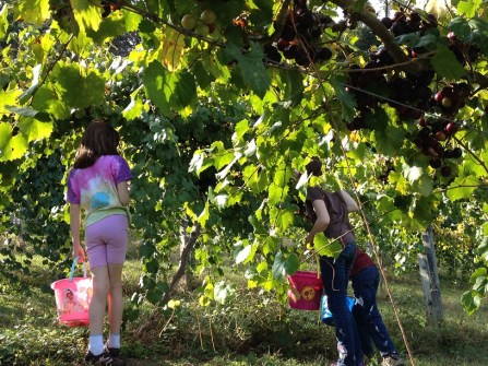 My Children Picking Muscadines