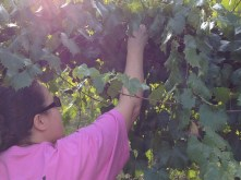 Kim Picking Muscadines